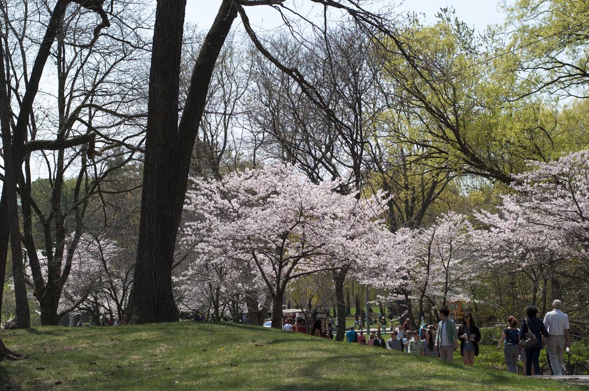 sakura at high park