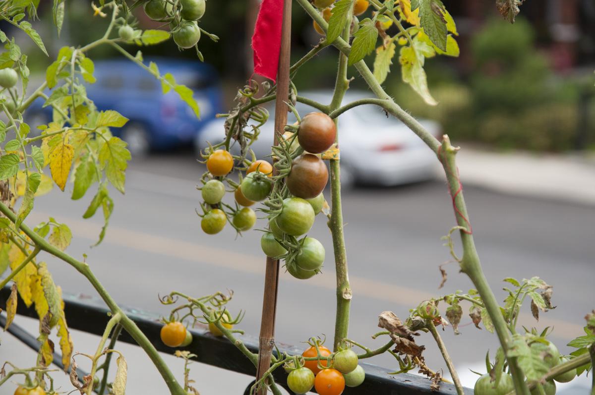 tomato-stake-sm