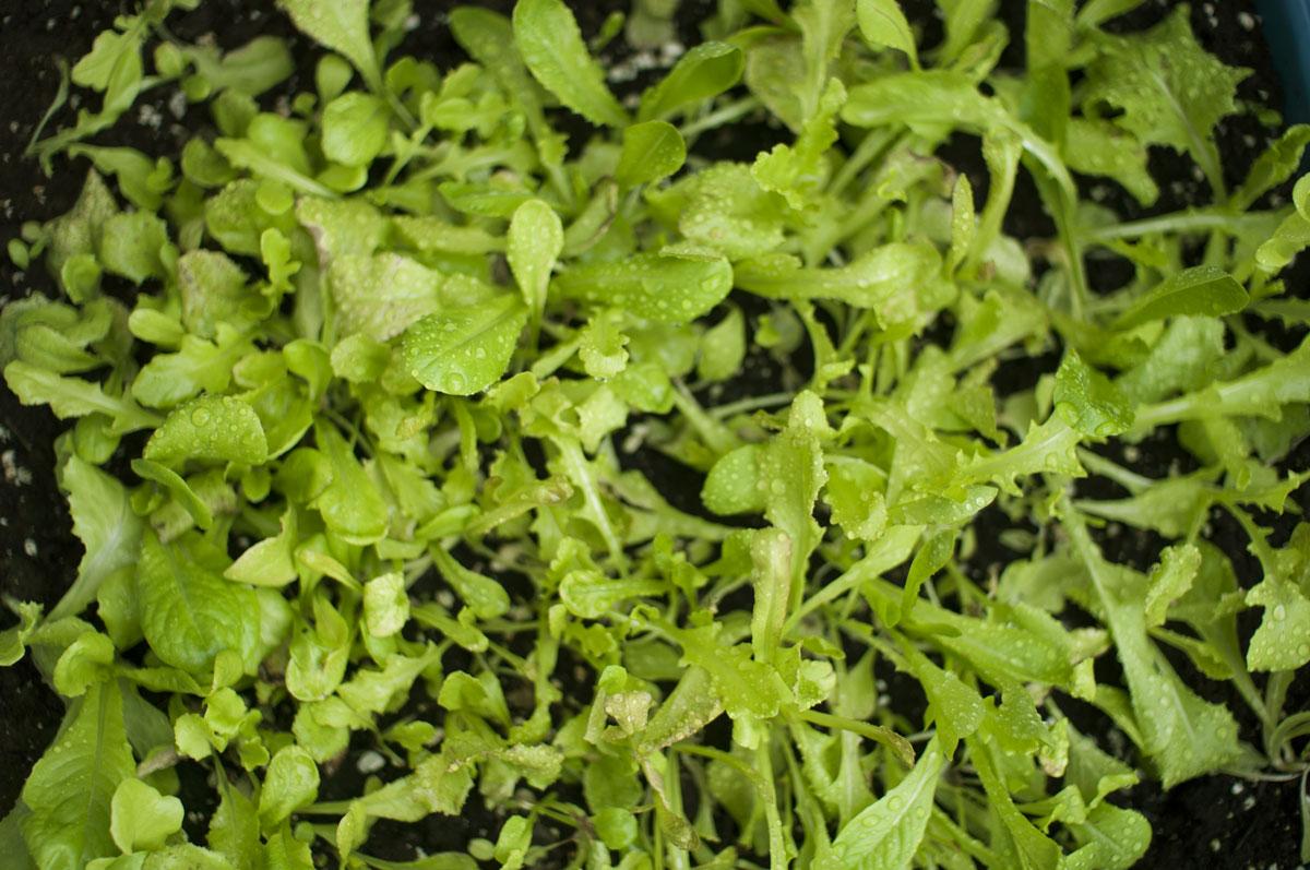 lettuce-sm