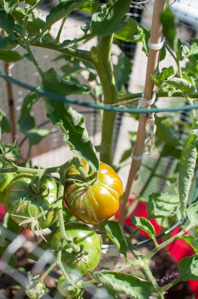 black-prince-tomato